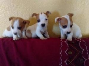 thoroughbred minature pedigree  jack russell puppies