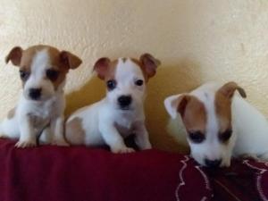 thoroughbred minaturee jack russell puppies