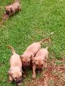 Boerbull puppies