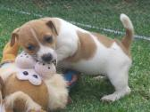 Short leg Jack Russell puppies for sale