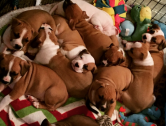 Outstanding Staffordshire Puppies For sale