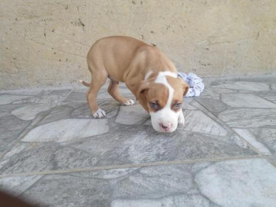 American pitbull pups in Durban, KwaZulu-Natal