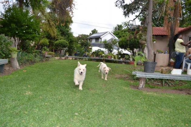 Beautiful Swiss Shepherd / White German Shepherd Puppies for sale in Midrand, Gauteng