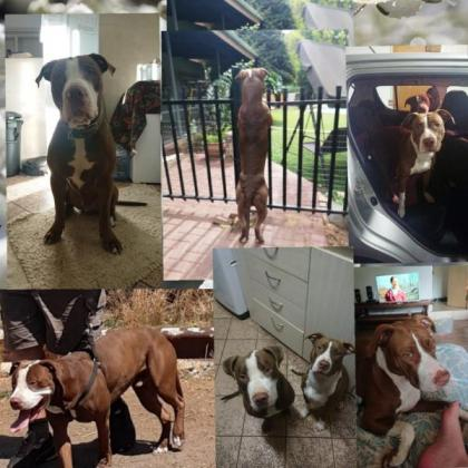 Red Nose Chocolate Pitbull Puppies in Brits, North West