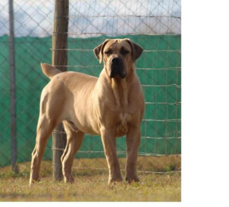 Registered Boerboel Male available