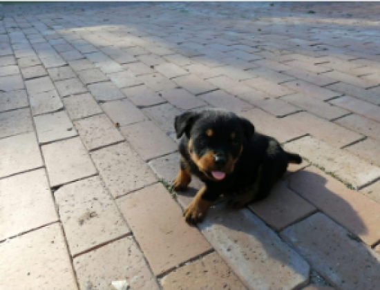 Rottweiler puppies for sale in Northcliff, Gauteng