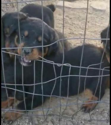 Rottweiler pups in Bloemfontein, Free State