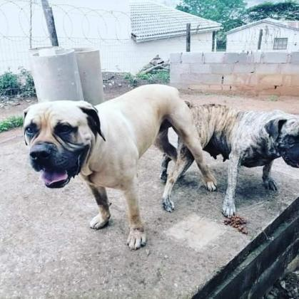 Tan and Brindle boerboel pups in Durban, KwaZulu-Natal