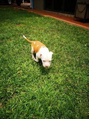 Amerikaanse Staffordshire Terrier pups