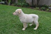 Beautiful Swiss Shepherd / White German Shepherd Puppies for sale