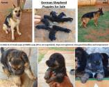 German Shepherd Puppies For Sale 4 x Male & 4 Female