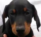 Looking for large breed doberman.