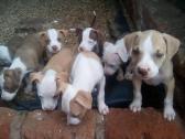 pitbul puppies
