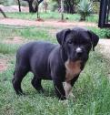 XL American Bully pups Available