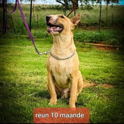 2 X BULL TERRIERS in Other Free State, Free State