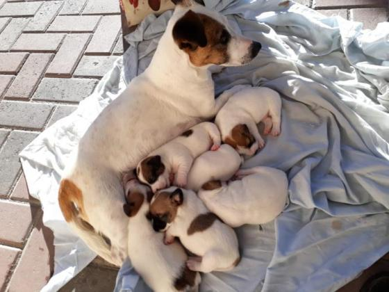 Adorable jack Russell puppies in Brackenfell, Western Cape