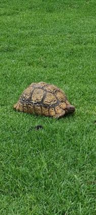 Adult leopard tortoises in Bedfordview, Gauteng