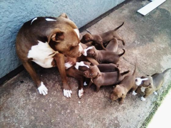 American Pitbull terrier puppies for sale in Springs, Gauteng