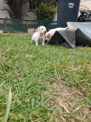 American pitbull white red nose pups in Kyalami, Gauteng