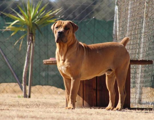 Boerboel Male available to selective homes