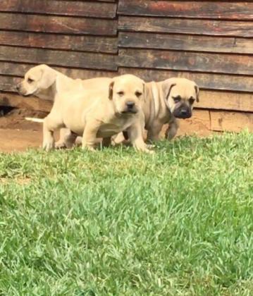 Boerboel pups in Johannesburg, Gauteng