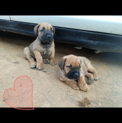 Boerboel puppies female available in Bloemfontein, Free State