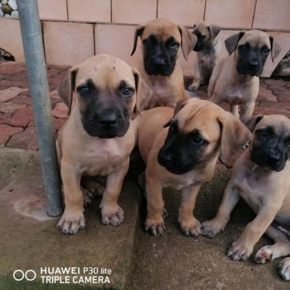 Boerboel puppies pure bred in Durban North, KwaZulu-Natal