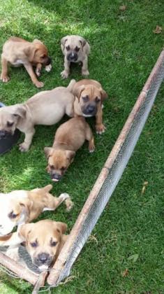Boerboel puppies available now in Benoni, Gauteng