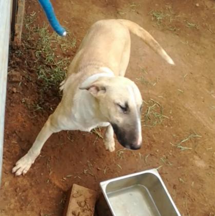 Bull Terrier in Bloemfontein, Free State