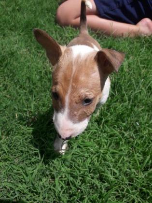 Bull Terrier in Winburg, Free State