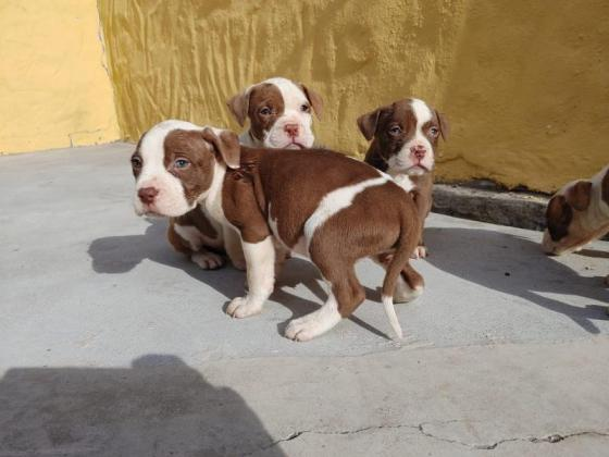 Purebred pitbull pups for sale