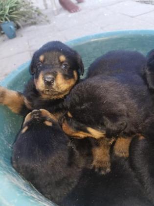 Rottweiler puppies in Welkom, Free State
