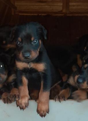 Dobberman rottweiler puppys in Pretoria, Gauteng