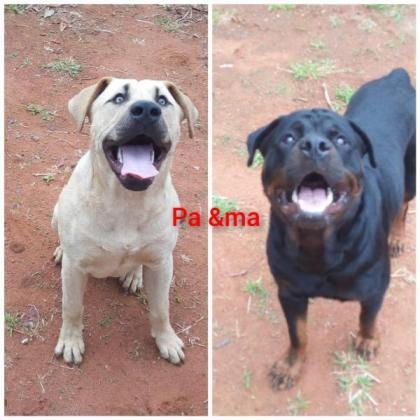 Rottweiller boerboel mix puppies in Other Limpopo, Limpopo