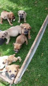 boerboel puppies available now