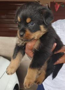 rottweiler male and female puppies available