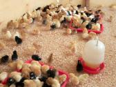 Day old chicks and layer chickens available for sale Whatsapp +27734531381
