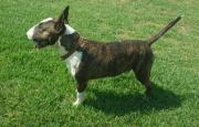 Thoroughbred Bull Terrier puppies for sale