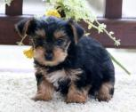 Yorkies Puppies For Sale!!