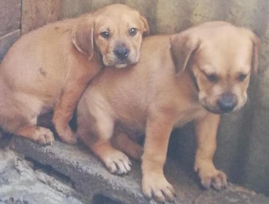 Boerboel puppies vaccinated and dewormerd in Muizenberg, Western Cape