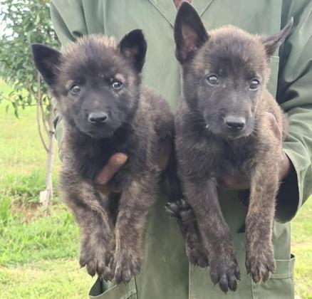 Dutch sheperd pups vac an dewormed