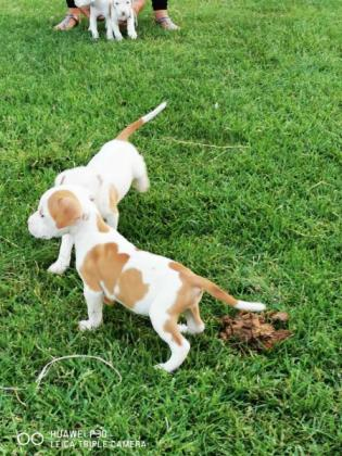 Pitbull puppies for sale in Alberton, Gauteng