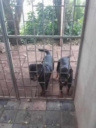 Thorougbred Rottweiler Puppies for sale in Tongaat, KwaZulu-Natal