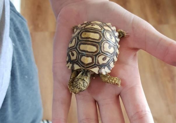 New born leopord tortoise hatchlings for sale in Meyersdal, Gauteng