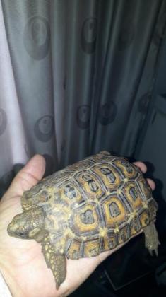 Baby tortoises in Alberton, Gauteng
