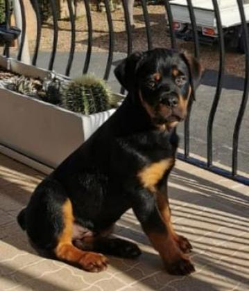 Rottweiler Puppies for Sale in Overberg, Western Cape