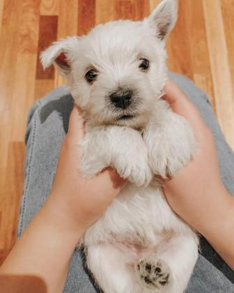 West highland white terrier puppies for sale Whatsapp 0626321226 in Camps Bay, Western Cape