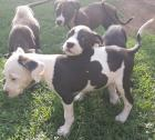 American pitbull puppies 4 x females