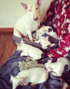 Charming bull terrier puppies for sale Whatsapp +27626321226