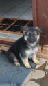 German Sheperd Puppy for sale